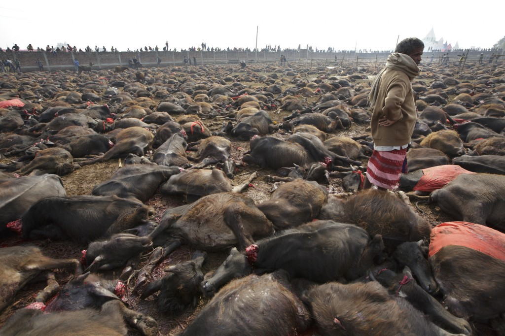 Humane Society International and Animal Welfare Network Nepal at the 2014 Gadhimai Festival